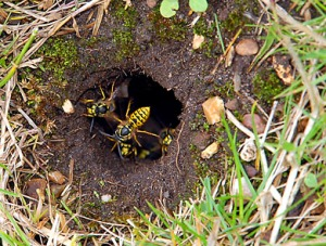 Not our wasps, just a relevant pic from t'internet!